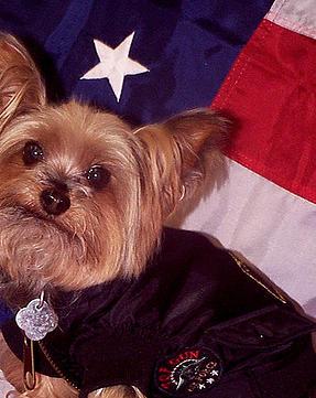 Yorkie Puppy Adoption Baltimore MD