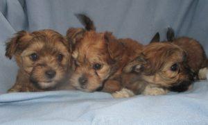 Male Yorkie-Chon Puppies
