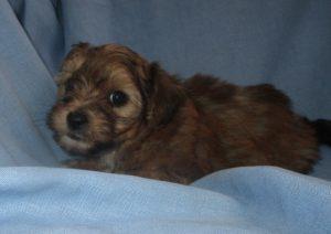 Male Yorkie-Chon Puppy