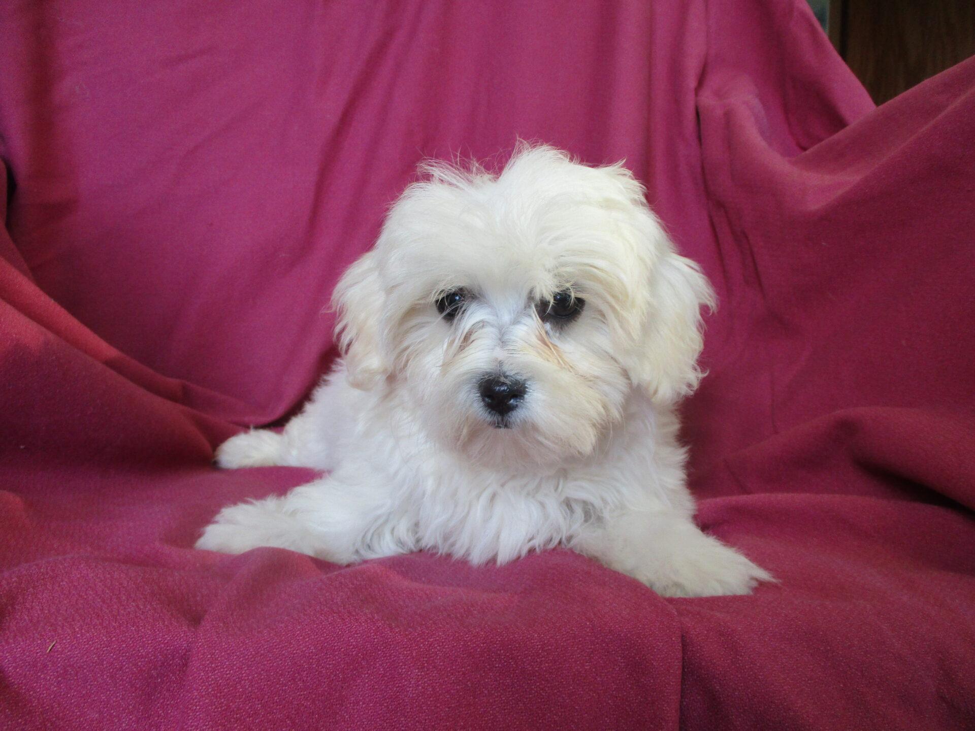 Maltesebichon Maltichon Puppies For Sale In New Windsor Md