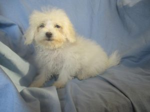 Maltese/Bichon Puppies For Sale in New Windsor MD