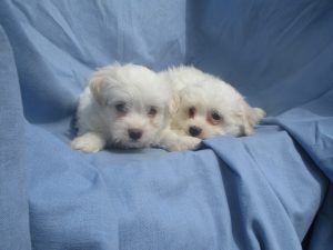 Maltese/Havachon Puppies For Sale in Washington DC