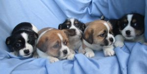 Five Male Shih-Tzu-Terrier Puppies
