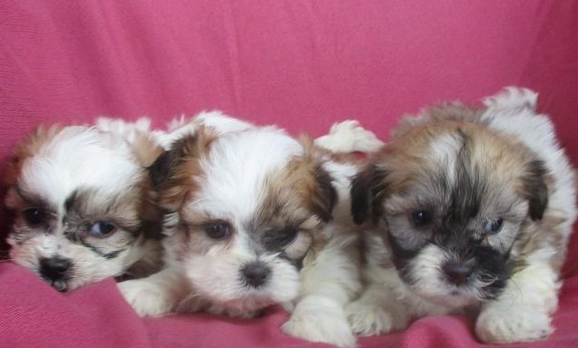 Shih Chon Puppies For Sale Near New Windsor Amp Baltimore Md