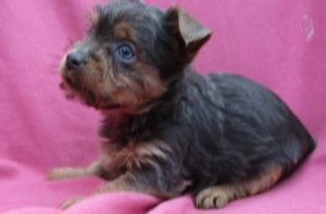 Female Blue Yorkshire Terrier Puppy