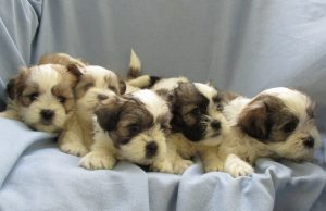 Group of Male Havashu Puppies