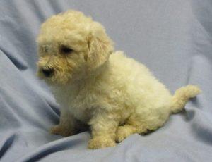 White Male Bichon Frise Puppy
