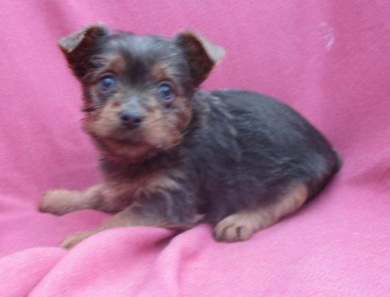 Blue Yorkshire Terrier Puppies Washington, DC   Windsor ... Havachon