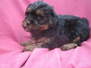 Female Purebred Yorkie Terrier Puppy