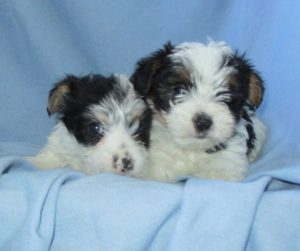 Two Male Parti Colored Yorkies
