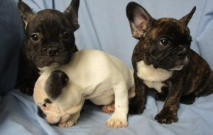 Three Male French Bulldogs sitting on a blue blanket