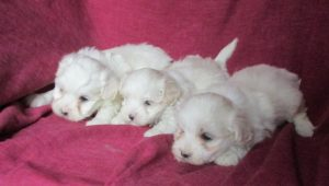 Maltipoo Puppies For Sale in Baltimore MD