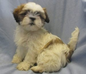 Shih Tzu/Lhasa Apso Puppies For Sale in Washington DC