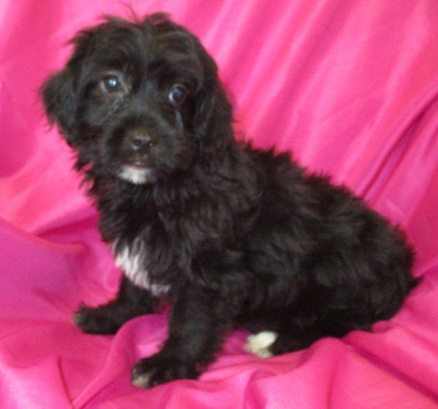 Yorkipoo Puppies For Sale Washington Dc Windsor Oak Farm