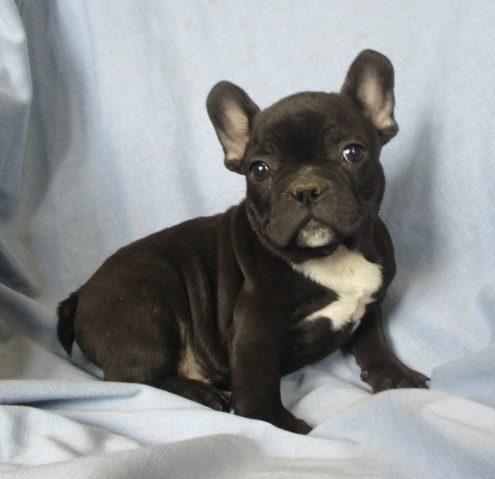 French Bulldog Puppies for Sale Washington, DC | Windsor ...
