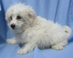 Maltese/Bichon Puppies in Baltimore MD