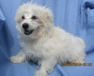 Maltese/Pomeranian Bichon Puppies in Baltimore MD