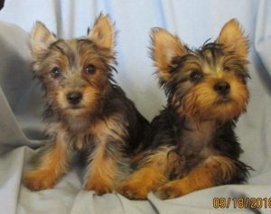 Silky Terrier Puppies Baltimore MD