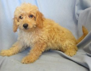 Mini Goldendoodle Puppies For Sale in Washington DC