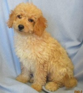 Mini Goldendoodle Puppies For Sale in Baltimore MD