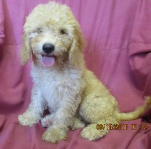 Female Mini Goldendoodle Puppies For Sale in Baltimore MD