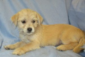 Maltese/Shorkie Puppies in Baltimore MD