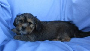 Maltese/Shorkie Puppies For Sale in Washington DC