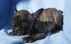 AKC French Bulldog Puppies in Baltimore MD