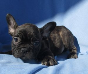 Male French Bulldog Puppy in Baltimore MD
