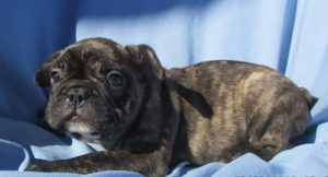 AKC French Bulldog Puppies For Sale in Washington DC