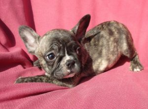 French Bulldog Puppies For Sale in Washington DC