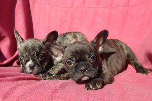 French Bulldog Puppies in Baltimore MD