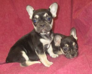 Female Black and Tan French Bulldogs
