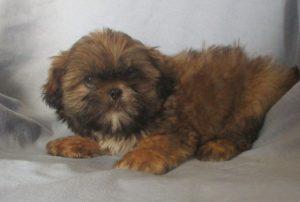 Shih-Tzu puppy laying down