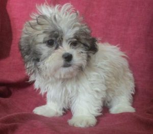Shih-Tzu / Havanese female puppy for sale