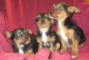 Female Yorkie Chihuahua Puppies sitting on a pink blanket