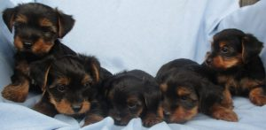 Group of Yorkshire Terrier puppies