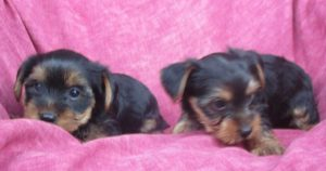 Yorkshire Terrier girls