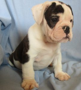 Male English Bulldog/Puggle Puppies on a blue blanket