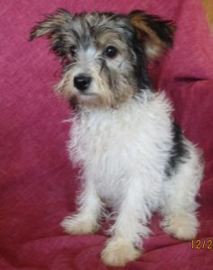 Party colored Yorkshire Terrier female