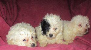 3 female Yorkie-Chon / Havanese puppies