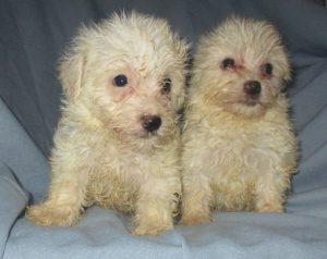 2 male Yorkie-Chon / Havanese puppies