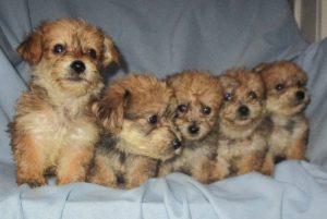 Yorkie Chon puppies sitting