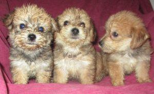 3 Yorkie Chon puppies sitting