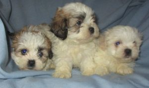 3 Shih-Chon puppies waiting for a new home