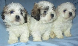 3 Shih-Chon puppies looking for a new home