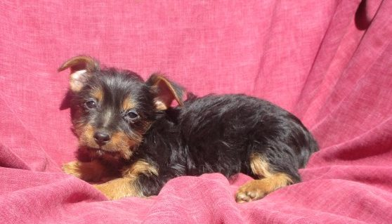 Silky Terrier Puppies for Sale Baltimore, MD | Windsor Oak Farm