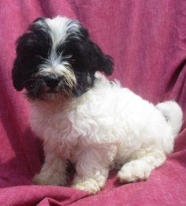 Female Havanese Puppy - Sold