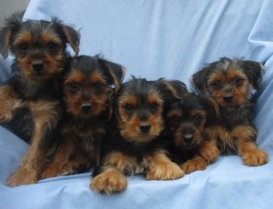 Male Purebred Yorkie Terrier Puppy For Sale