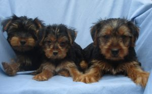 Male Purebred Yorkie Terrier Puppy